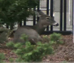 Toronto police are keeping watch on a deer that has wandered into the downtown core. THE CANADIAN PRESS/ Megan Leach.