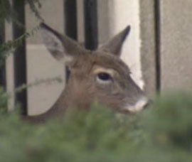 After apparently wandering around near Front Street and then around Queen and Bay, a 200 lb.deer made its way up to the University and Dundas area and laid down on a small patch of grass next to a medical building at Edward and Chestnut Streets, across from the bus terminal, around 7:30am.